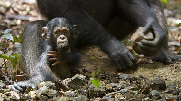 Oscar as an infant, with a nut in his mouth in 'Chimpanzee'