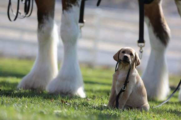 Budweiser Puppy Love Commercial Super Bowl 2014