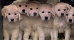 2014 Super Bowl Puppy Predictions