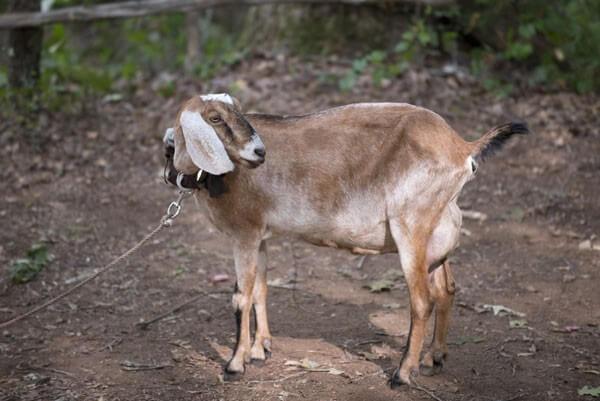 Tabitha Goat Walking Dead
