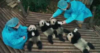 Pandas Documentary Film