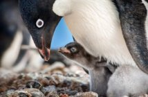 Penguins Disneynature Film