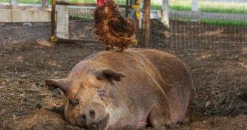 Critics' Choice Documentary Awards Nominee The Biggest Little Farm