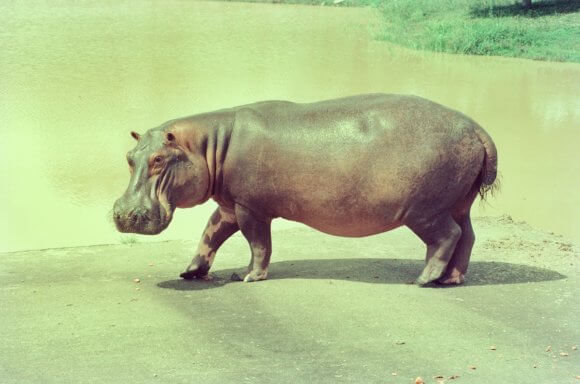 The Hunt for Escobar's Hippos